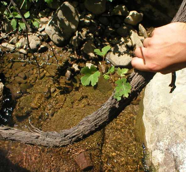 Одичавшая виноградная лоза с плодами над горной рекой в средней части долины Сатера, которая называется Алака, неподалеку от Каменных грибов