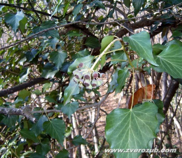 Крымский плющ, вечнозеленая лиана