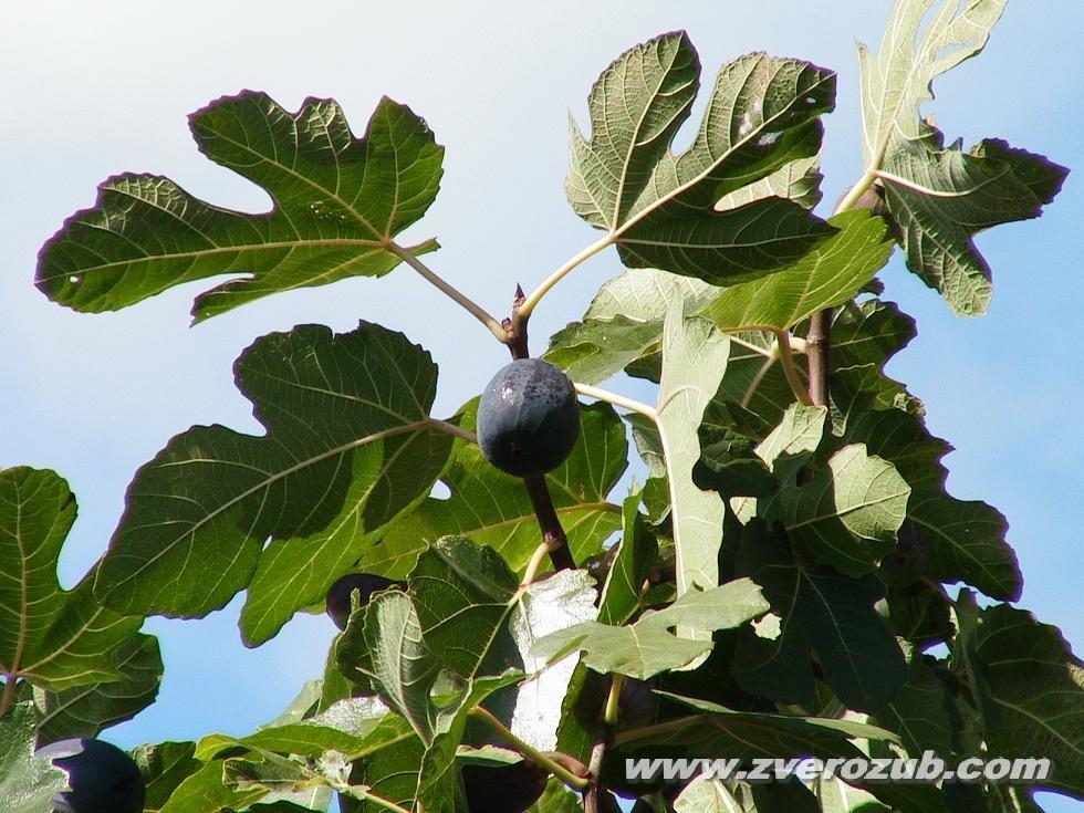 — инжир смоковница фиговое дерево